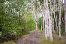 Walking Track Into Australian Bushland With Grey Tree Trunks