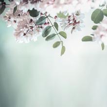 Beautiful Acacia Blossom On Blurred Nature Background