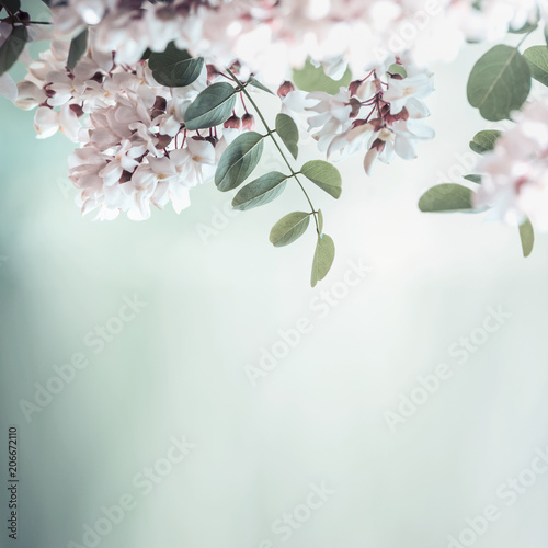 Poster Fleur Beautiful acacia blossom on blurred nature background