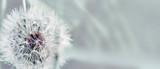 Fototapeta Dmuchawce - Dandelion close up on natural background. Dandelion flower on summer meadow