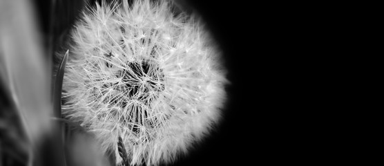 Black and white  dandelion close up on natural background. Dandelion flower on summer meadow