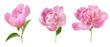 Leinwandbild Motiv peony flowers bunch  isolated on white background