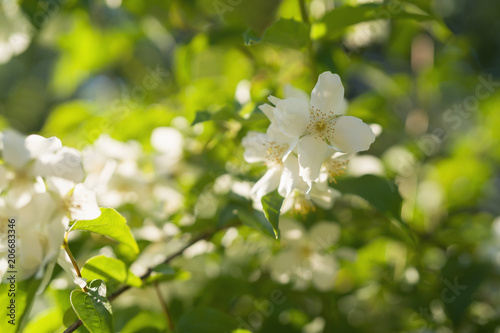blossoming jasmine flowers on a sunny summer day Canvas Print