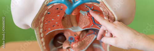 Fotografie, Tablou  Young female teacher in biology class, teaching human body anatomy, using artificial body model to explain internal organs
