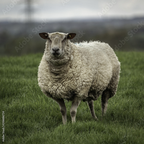 Tuinposter Schapen Sheep