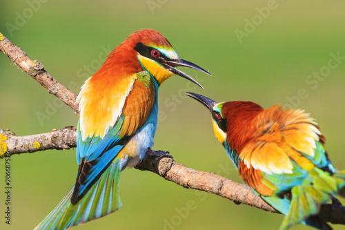 spring colored birds flirting Fototapete