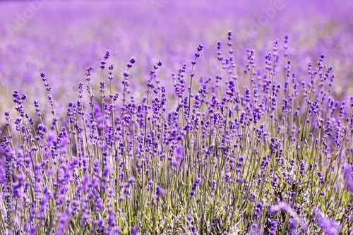 Fototapeta Lavender flower close up in a field in Korea obraz na płótnie
