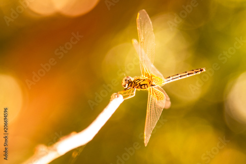 Yellow Dragonfly Perched On A Branch Top Of Tree, (selective focus)
