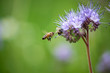 canvas print picture - Biene mit lila blühender Phacelia Blume auf Feld.
