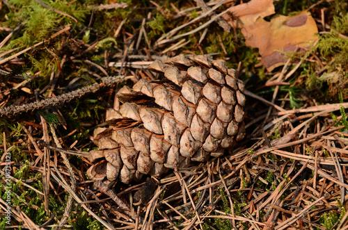 Valokuva  Waldkiefer, Pinus sylvestris, Gemeine Kiefer, Rotföhre, Weißkiefer, Forche, Zapf