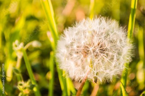 Fotobehang Paardebloem white flower blooming dandelion