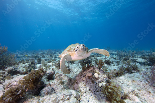 Valokuva  Green Sea Turtle (Florida Keys)