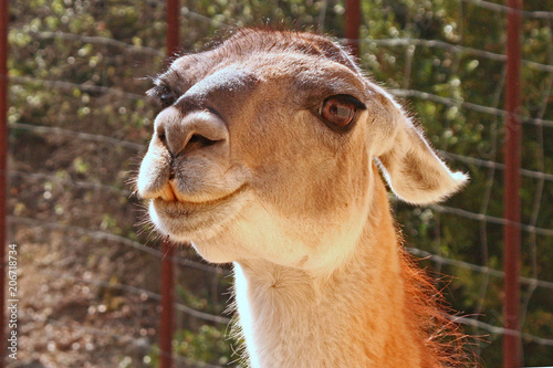 Staande foto Lama fierté du lama