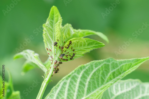 Young shoot of viburnum ordinary (lat Wallpaper Mural