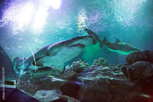 Shark in the oceanarium
