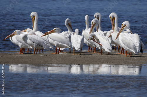 Fotografie, Tablou A squadron of American White Pelicans (Pelecanus erythrorhynchos) gathered on shore