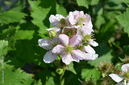 Brombeeren, Blüten