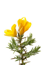 Gorse Flowers And Foliage