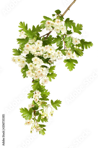 Fotografie, Obraz Hawthorn flowers and foliage