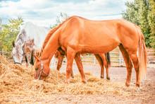 Horses Eating A Hay At Ranch S...