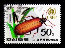 Golden Net-winged Beetle (Dict...