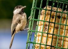 Chickadee On Suet Feeder