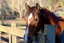 Beautiful Brown Horse With Whi...