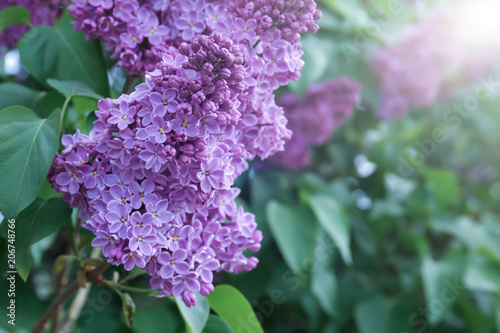 Blossoming lilac outdoors on spring day