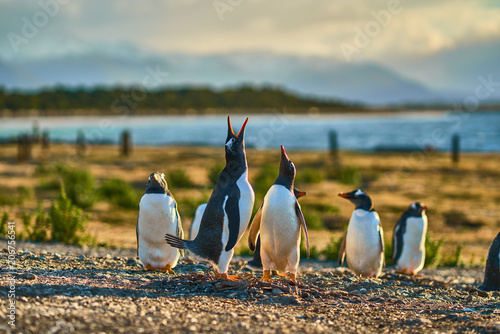 Spoed Fotobehang Pinguin The colony of penguins on the island in the Beagle Canal. Argentine Patagonia. Ushuaia