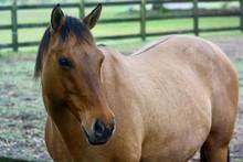 Cute Dun Quarter Horse