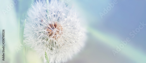 Spoed Foto op Canvas Paardenbloem Dandelion close up on natural background. Dandelion flower on summer meadow