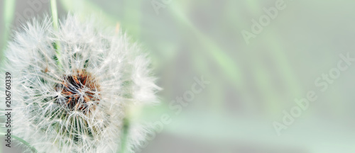 Fototapeta premium Dandelion zamyka up na naturalnym tle. Kwiat mniszka lekarskiego na letniej łące