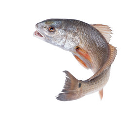 Red Drum (Sciaenops ocellatus). Escaping fish. Isolated on white background