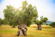 Olive Plantation With Old Oliv...