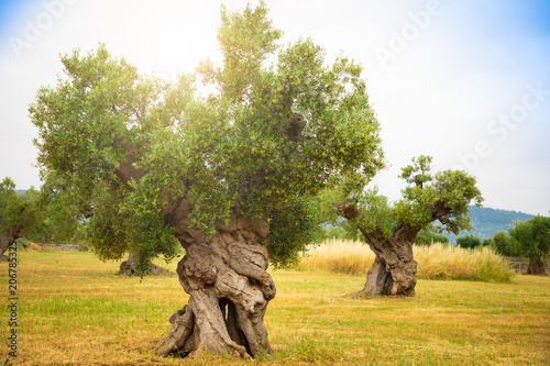Olive plantation with old olive tree in the Apulia region, Italy