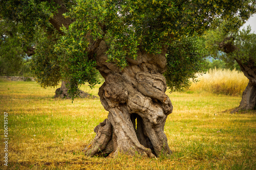 Cuadros en Lienzo Tree trunk of old olive tree in the Apulia region, Italy