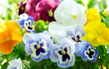 Colorful Pansy Flowers In A Garden