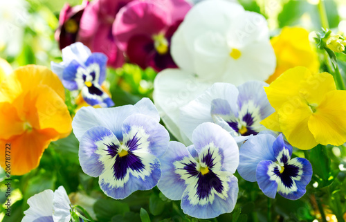 Papiers peints Pansies colorful pansy flowers in a garden