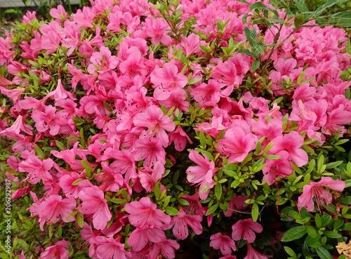In de dag Candy roze サツキの花