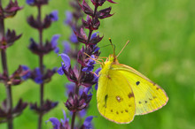 Colias Hyale, The Pale Clouded Yellow Butterfly On Flower. Yellow Butterfly Feeding On Meadow