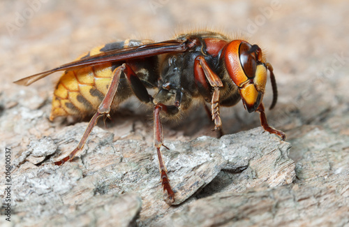 Close up view of giant hornet