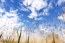 Grass Cane On A Blue Sky Background With Clouds