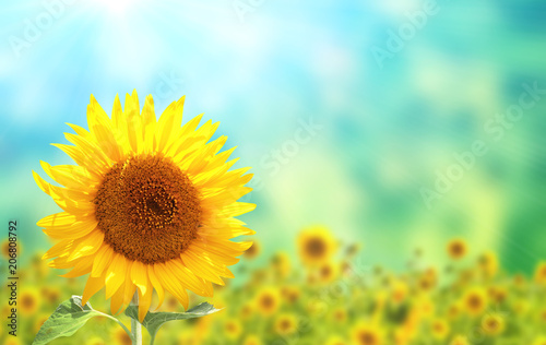 Spoed Foto op Canvas Zonnebloem Sunflowers on blurred sunny background