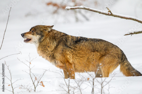 Wolf Canis Lupus Im Winter Im Tier Freigelande Im Nationalpark