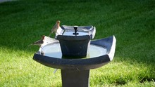 Two Adult Male House Finches Or Purple Finches Drink And Spalsh At A Back-yard Bird Bath