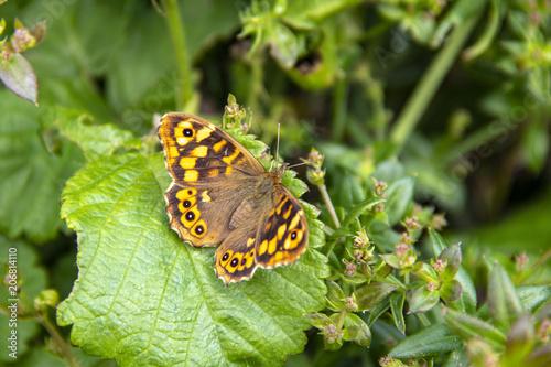 Fotografie, Obraz  Papillon Tircis. Pararge aegeria, sur une feuille
