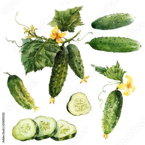 Fototapeta Watercolor cucumber vector set obraz