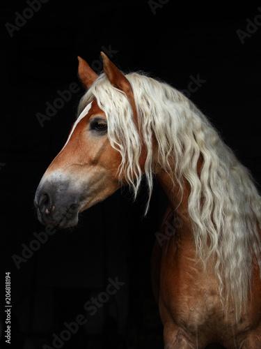 Fototapeta  Low key portrait sorrel haflinger stallion in black background