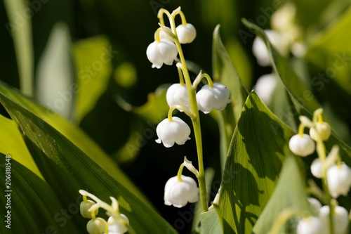 Foto op Canvas Lelietje van dalen Macro photo of Lily of the valley (Convallaria majalis) flowers w