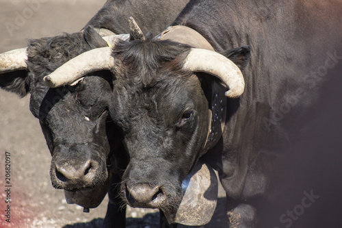 Bullfighting at Switzerland
